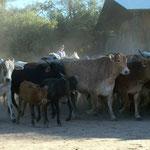 Bei 400 Kühen geht die Beaufsichtigung und das Treiben der Rinder, auf dem Pferd um einiges einfacher als zu Fuss