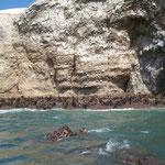 Am Strand Seelöwenmütter mit ihren ca. dreimonatigen Jungen auf der Isla Ballestas