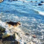 これはイングリッシュベイで見たシェパードね、海をワイルドに走ってたw