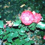 これも散歩中に咲いてた花、夕方なので暗いw