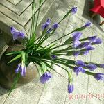 これは菖蒲の花、五月の季節感が出てます