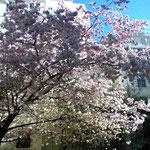 PARISの桜、ステキに咲いてるね