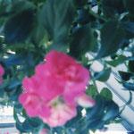 これはステイしてたところのテラスの花、自作の激マズ弁当食べた時、弁当って難しいw