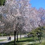ボローニァの公園の桜、世界にあるね桜は