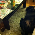 Das Bärchen teilt sogar seinen Platz unterm Tisch mit einem anderen Rüden.