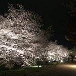 上田城 千本桜 1