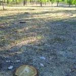 Talados varios árboles enfermos en el Anillo Verde (foto: Distrito 19)
