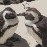 Möglicherweise verliebte Pinguine