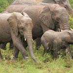Elefantenherde mit Elefäntchen