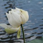 Lotusblüte im Botanischen Garten, Mauritius