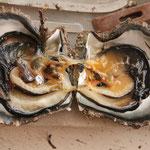 Das Innere einer Muschel, die für die Perlenproduktion gebraucht wird