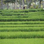 Malerische Reisfelder