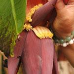 So sehen ganz junge Bananen aus (Raiatea)