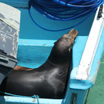Die Seelöwen gehen gerne an Bord