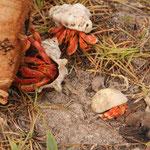 Auch auf Direction Island gibt es Krabben (sie lieben Kokosnüsse!)