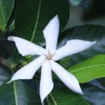 Tiare - die Nationalblume Tahitis