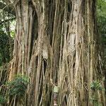 Beeindruckender Baum auf Nuku Hiva