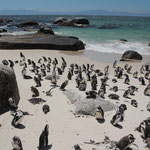 Pinguine, Pinguine, Pinguine bei Boulder's Beach