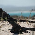 Leguane in der Sonne