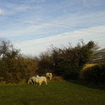 Die Schafe von der Weide nebenan...