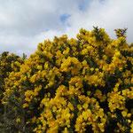 Irland ist nicht nur grün - Ginster & Osterglocken blühen überall! :-)