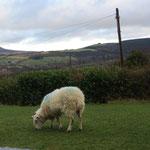 Ich habe auch schon die ersten Schafe gesichtet!