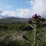 Die schottische Distel