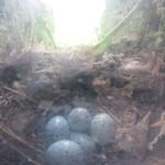 Vogelnest mit Eiern.