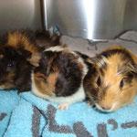3 junge Meerschweinchen nach der Kastration