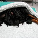 Baika mit ihren 11 Welpen nach dem Kaiserschnitt