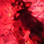 Chihuahua-Hündin Bonita mit ihren 4 Welpen post Kaiserschnitt