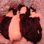 Die 4 Bullterrierwelpen von Hermine post Kaiserschnitt