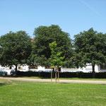 Drei Kastanienbäume