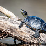 Rotwangenschmuck-Schildkröte, klingnauer Stausee