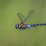 Libelle, Neeracherried