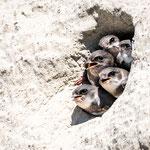 Uferschwalben, Stetten