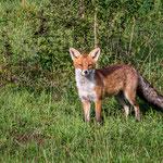 Fuchs, Flachsee