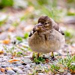 junger Buchfink, Grünwald