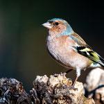 Buchfink Männchen, im Wald