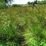 Tourbière de la Lande Mouton, les hautes herbes