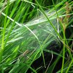 Araignée avec son piège redoutable ; Tourbière de la Lande Mouton,