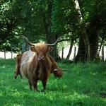 """Vache """" Highland Cattle """" ; Tourbière de la Lande Mouton"""