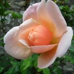"""Rose """"Opaline"""""""