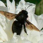 Hyménoptère - Xylocopa violacea ou abeille charpentiere