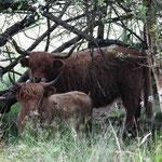 """Vache Highland ; Tourbière de la Lande Mouton, vache """" Highland Cattle """""""