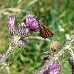 Papillon Hespérie du dactyle (Thymelicus lineola) ; Tourbière de la Lande Mouton