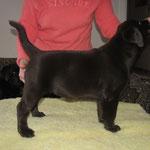 Gilbron Pride Sherry-Li (girl, 2 months / meitene, 2 mēneši), LV JCH