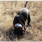 Chilli retrieving a life bird: a grisp is very accurate and gentle - a bird without any damage