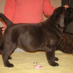 Gilbron Pride Sea Dog Skipper (boy, 2 months / puika, 2 mēneši)
