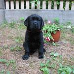 Uelsy Black Rose, 6 weeks / 6 nedēļas